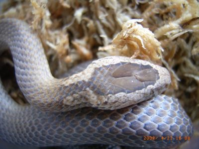 Golden Crown Snake