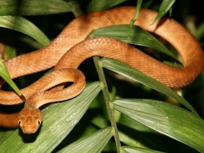Brown tree snake on leaf