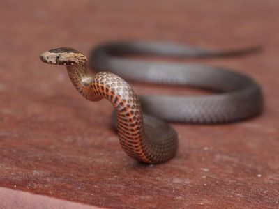Golden Crowned Snake